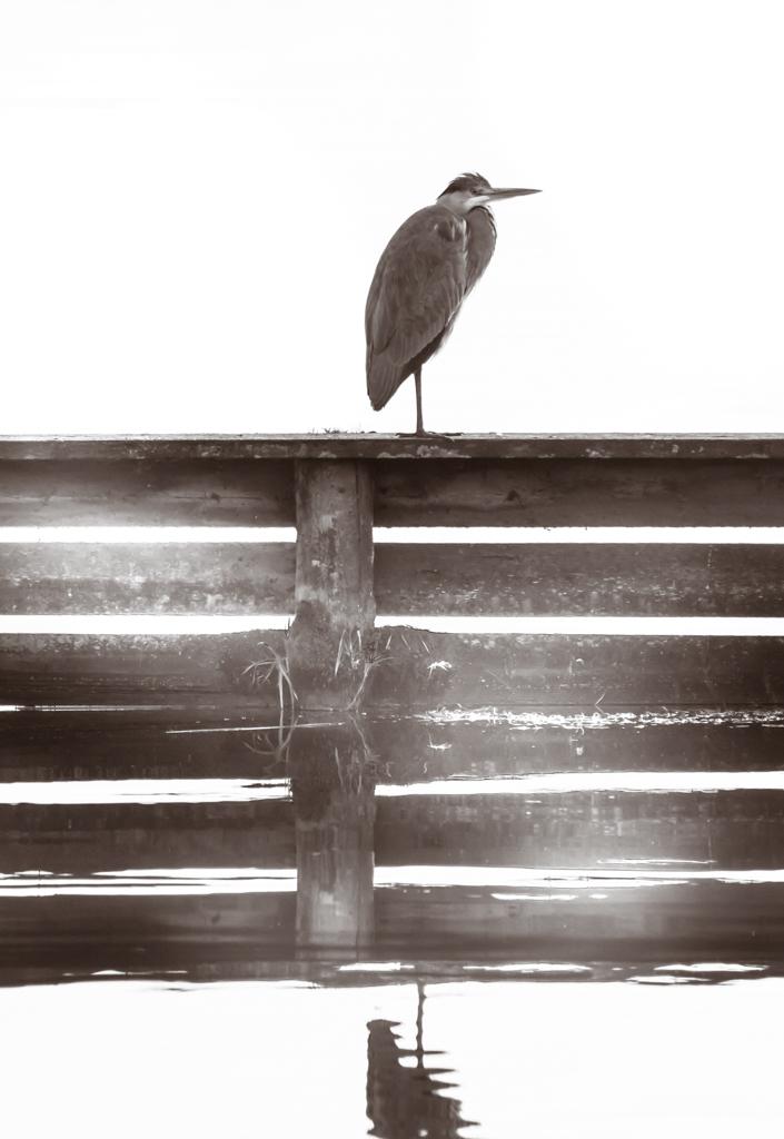 fiskehejre-i-modlys-8285