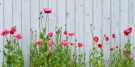 Poppies in a Row