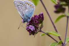 Blaafugl-med-snabel-i-blomst