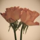 Duplex Rose
