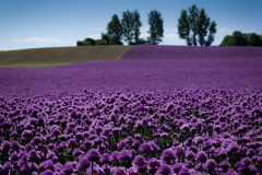 Purple field