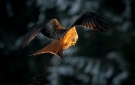 per-hallum-red-kite