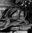 Delhi tree root